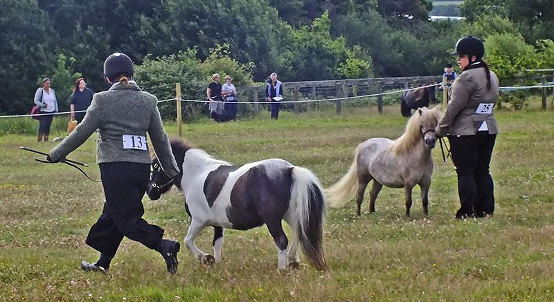 2 people walking with miniture ponies